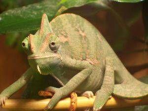 Como equipar mi terrario para una Iguana o un Camaleón