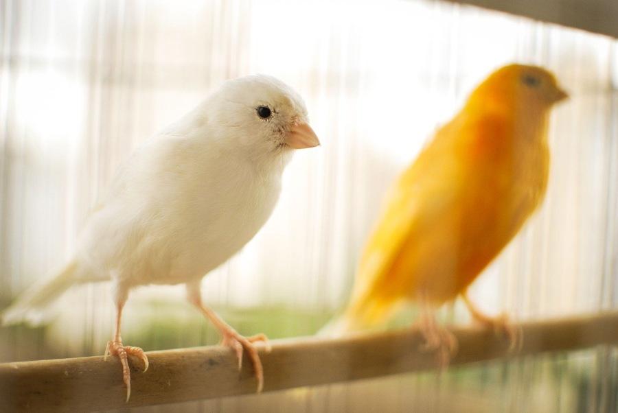 Cría de canarios en casa