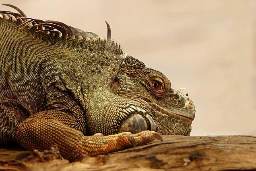 Iguanas_ Importancia del tamaño del terrario
