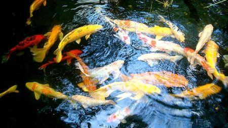 Los peces en el estanque