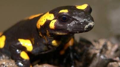 Salamandras y tritones: alimentación y manejo