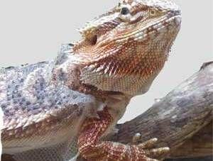 ¿Se pueden mezclar distintos reptiles en un terrario?