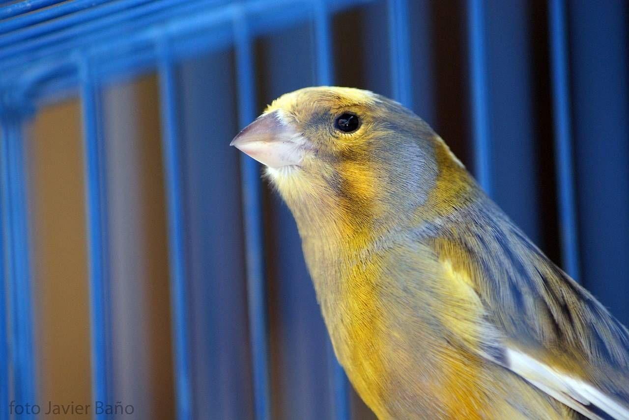Cr a de canarios en casa tiendanimal for Cria de peces en casa