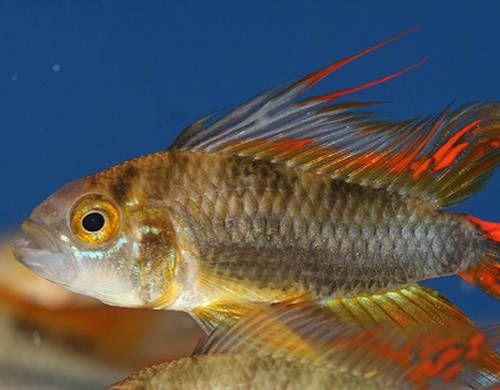 Síntomas de enfermedad en los peces