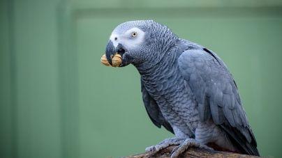 Golosinas nutritivas para aves