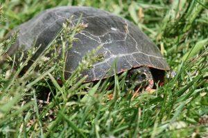 hibernación de las tortugas