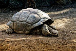 las-tortugas-deben-hibernar