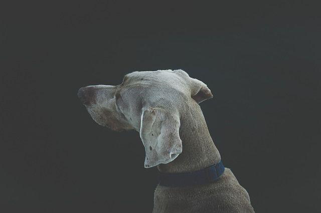 Sordera en los perros