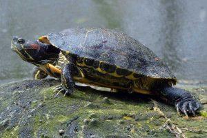 tortugas-orejas-rojas