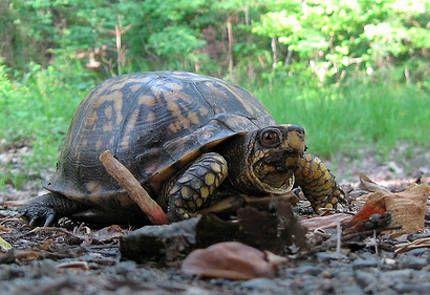 Las Tortugas deben Hibernar? 1