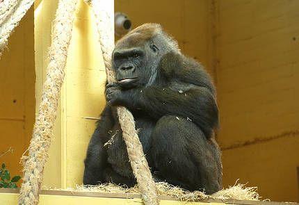 ¿Sabías qué los gorilas son capaces de conversar …? nº2