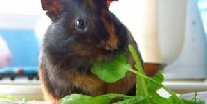 Parásitos externos de los conejos y cobayas