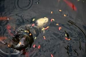 Una alimentaci n adecuada a la naturaleza para sus peces for Alimento peces estanque