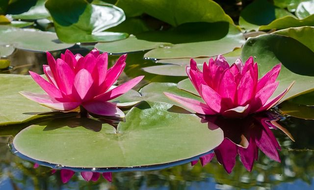 Colocación de las plantas en el estanque