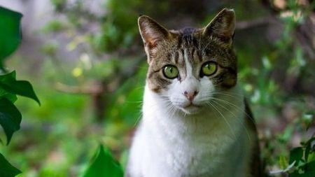 El gato común