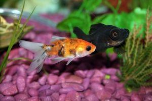 Introduciendo peces en el acuario