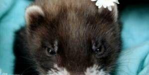 Diferencias en la castración entre el macho y la hembra de hurón