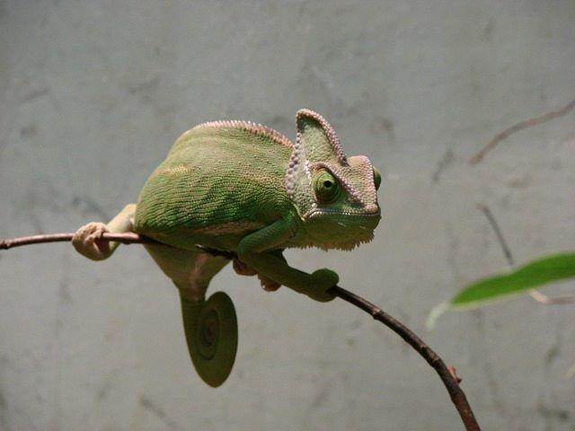 ¿Se puede amansar un camaleón?