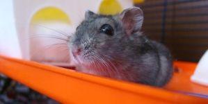 El baño de los hámsters y pequeños roedores