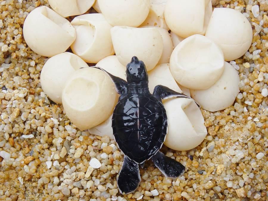 tortuga-huevos