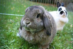 Mi conejo pierde mucho pelo: ¿qué tengo que hacer?