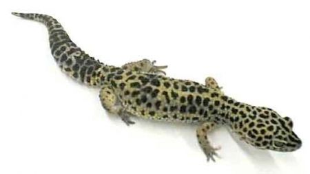 Geco leopardo: un reptil perfecto para principiantes