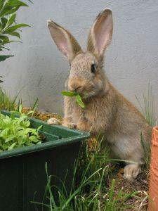 Como alimentar a un conejo hogareño