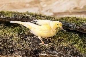 El sexo de los canarios