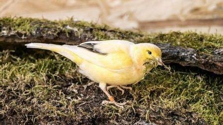 Cómo saber si tu canario es macho o hembra