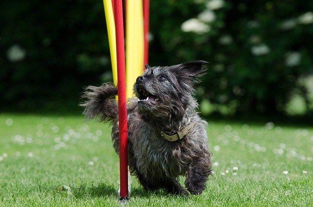 Agility para perros: un ejercicio fabuloso