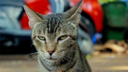 ¿Qué es la terapia con feromonas para gatos estresados?