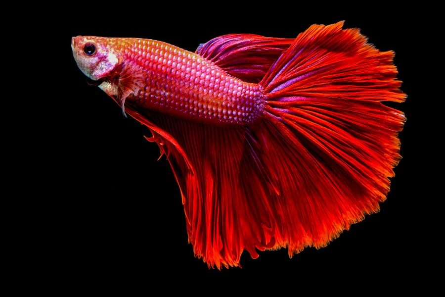 bettas peces principiantes