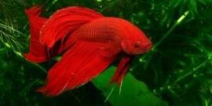 Bettas: unos peces preciosos para principiantes