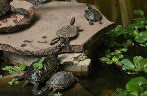 Tortugas acu ticas en el estanque tiendanimal - Estanques para tortugas de agua ...