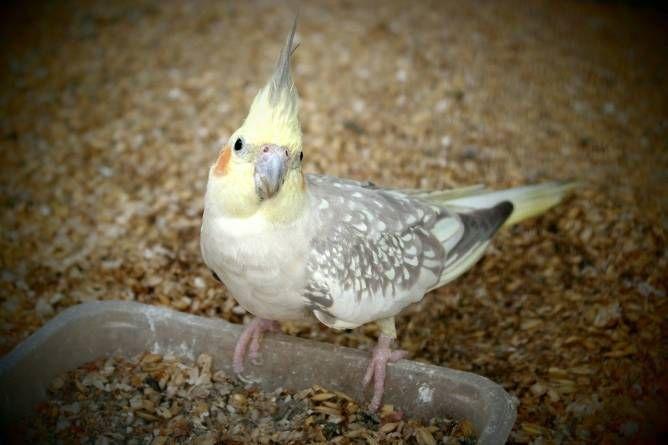 Ninfas: un ave ideal para principiantes