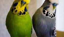 Los periquitos son unas mascotas geniales
