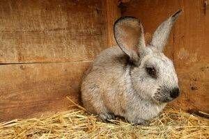 enfermedades-de-piel-conejos