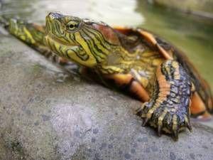Alimentación de las tortugas acuáticas
