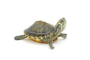 alimentacion-tortugas-acuaticas