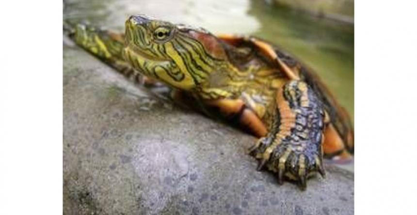 La alimentación de las tortugas acuáticas