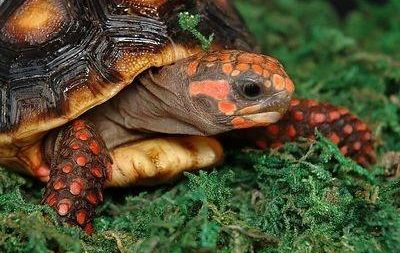 Tortugas de patas rojas o Morrocoy