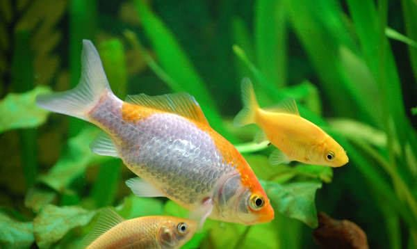 Mi primer acuario parte i for Los mejores peces de agua fria