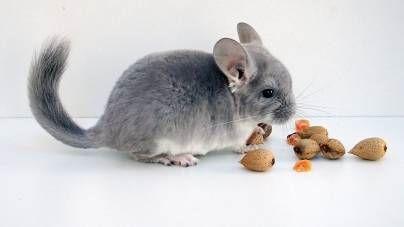 La nutrición de una chinchilla. ¿Qué otros alimentos son seguros para darles?