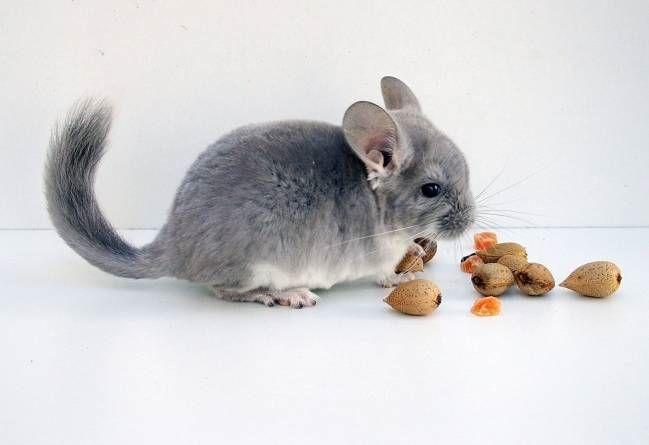 La nutrición de una chinchilla. Parte I: Dieta alimenticia.