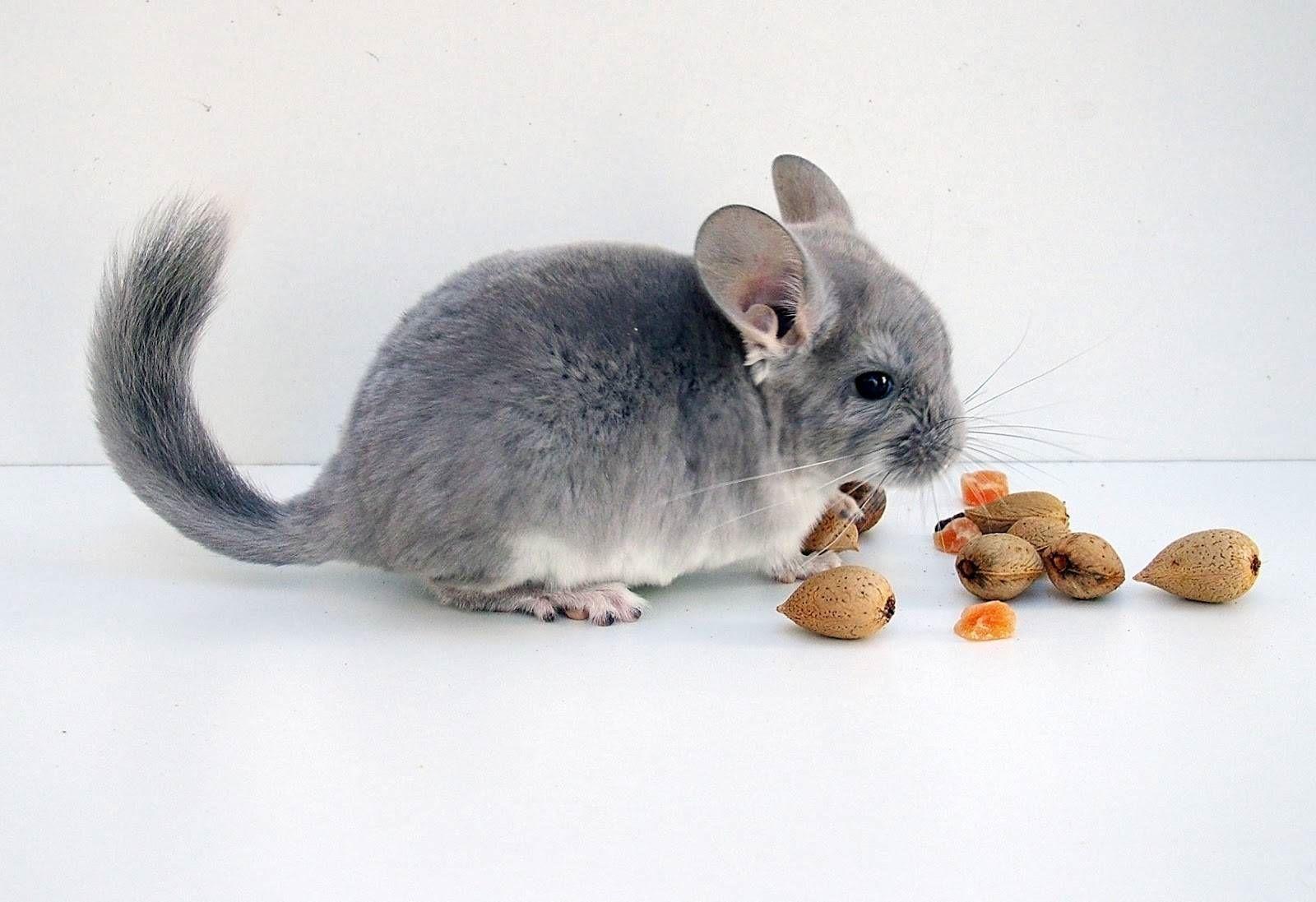 la-nutricion-de-una-chinchilla