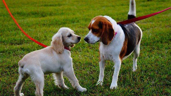 Perros reactivos durante el paseo