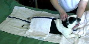 Bulldog cae rendido ante un masaje