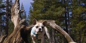 ¿Cuál es el mejor pienso para mi Bulldog francés?
