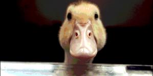 ¿Es el pato una buena mascota?