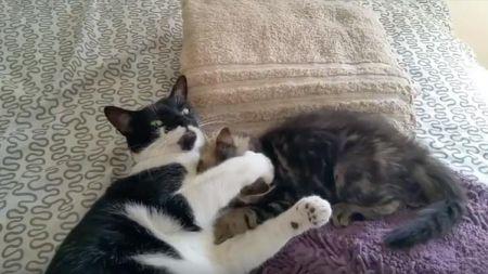 Dos gatos juegan entre ellos